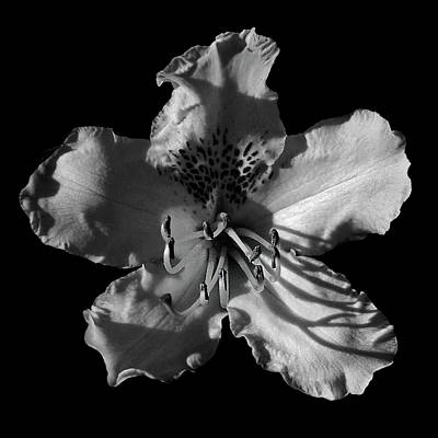 Photograph - Rhododendron Bw by Inge Riis McDonald