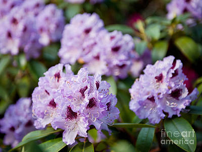 Rhododendron Called Azalea Purple Flowers  Art Print by Arletta Cwalina