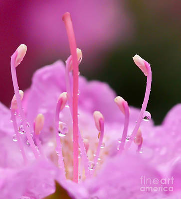 Photograph - Rhododendron Droplets by Kerri Farley