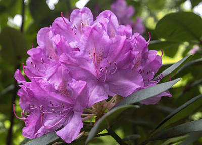 Photograph - Rhododendron Flower by Arlene Carmel