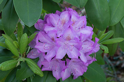 Photograph - Rhododendron Flower by Kenneth Cole