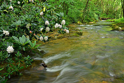 Photograph - Rhododendron Flowers Overhang Cold Spring Creek by Alan Lenk