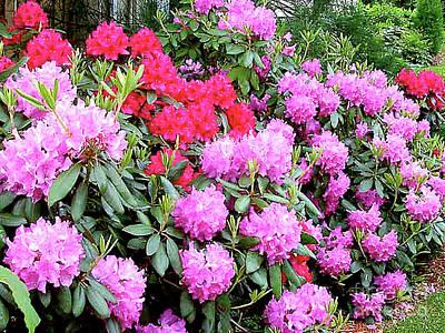 Photograph - Rhododendron Garden by Merton Allen