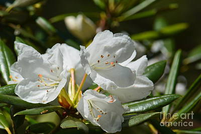Photograph - Rhododendron I by Maria Urso
