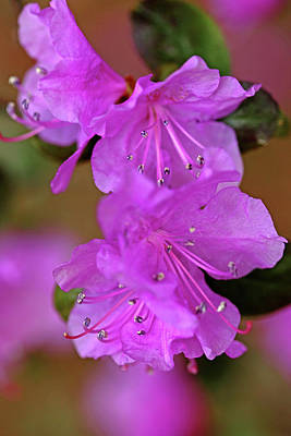 Photograph - Rhododendron In Lavender by Debbie Oppermann