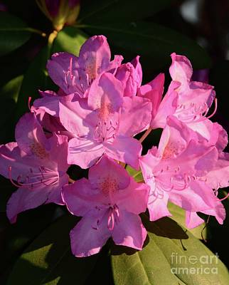 Photograph - Rhododendron In The Limelight by Cindy Manero