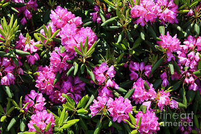 Photograph - Rhododendron by Jill Lang