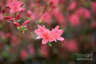 Photograph - Rhododendron Kaempferi by Tim Gainey
