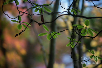 Photograph - Rhododendron Leaves Against Fall Colors by Mike Reid