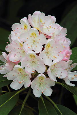 Photograph - Rhododendron Maximum by John Burk