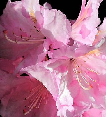 Photograph - Rhododendron On Black by Jodie Marie Anne Richardson Traugott          aka jm-ART