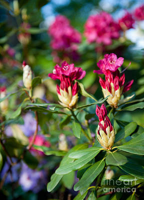 Rhododendron Or Azalea Buds Bright Pink  Art Print by Arletta Cwalina