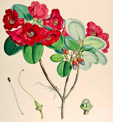 Red Flowers Drawing - Rhododendron Thomsonii by Joseph Dalton Hooker