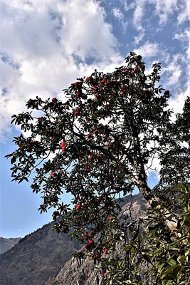 Photograph - Rhododendron Tree - Himalayas by Kim Bemis