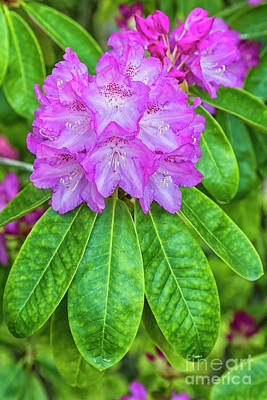 Rhododendrons Photograph - Rhododendron by Veikko Suikkanen