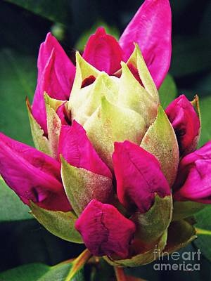 Rhododendron Velvet    Art Print by Sarah Loft