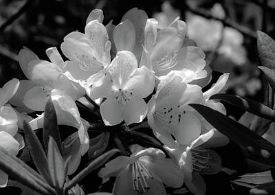 Photograph - Rhododendrons Black And White by Sherman Perry