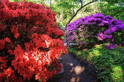 Photograph - Rhododendrons Blooms In Japanese Garden 8. Prague by Jenny Rainbow
