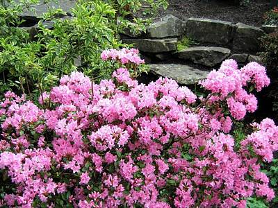 Photograph - Rhododendrons by Will Borden