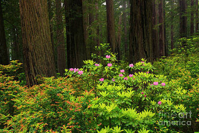 Photograph - Rhodys And Redwood by Mike Dawson
