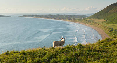 The Gower Photograph - Rhossili Beach The Gower Peninsula South Wales Uk With Sheep Grazing One Of The Best Beaches by Michael Charles