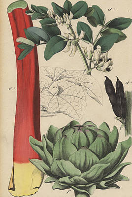 Artichoke Drawing - Rhubarb Artichoke Bean by German Botanical Artist