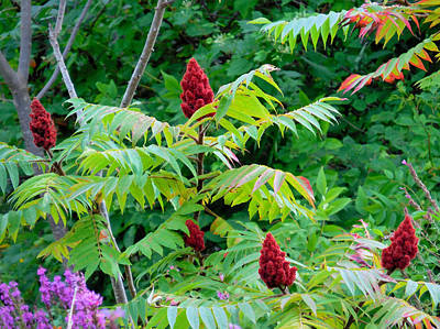Poison Sumac Painting - Rhus Glabra 3 by Lanjee Chee