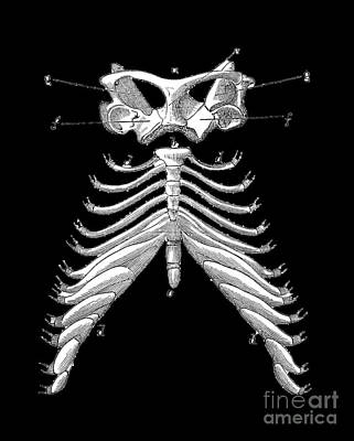 Halloween Drawing - Rib Cage Tee by Edward Fielding