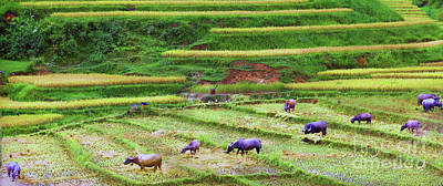 Photograph - Rice Fields Of Asia  by Chuck Kuhn