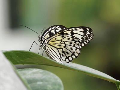 Photograph - Rice Paper Butterfly - 2 by Paul Gulliver