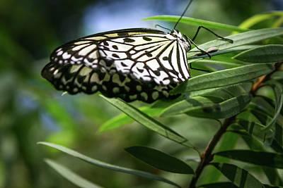 Rice Paper Butterfly - Art Print