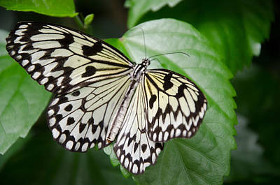 Photograph - Rice Paper Butterfly by Kristin Hatt