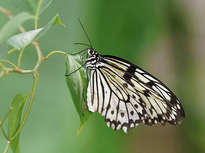 Photograph - Rice Paper Butterfly by Paul Gulliver