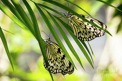 Photograph - Rice Paper Butterfly Twins by Sabrina L Ryan
