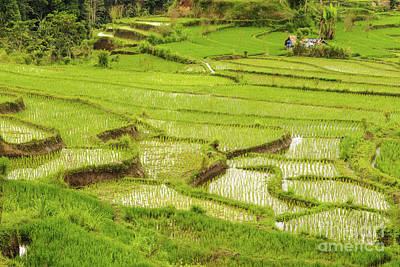 Photograph - Ricefields In Bali 1 by Werner Padarin