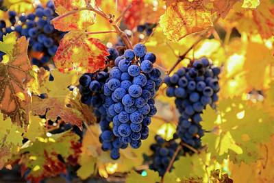 Photograph - Rich Fall Colors With Grapes by Lynn Hopwood