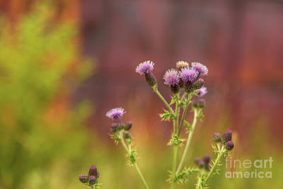 Photograph - Rich Thistle by Karin Pinkham