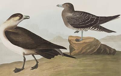 Richardson's Jager Art Print by John James Audubon
