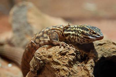 Photograph - Ridge-tailed Monitor Napping by Miroslava Jurcik