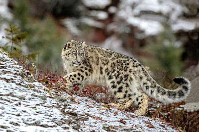 Photograph - Ridgeline Snow Leopard by Wes and Dotty Weber