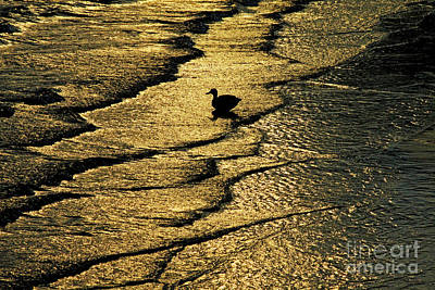 Photograph - Duck Riding The Waves by Carol F Austin