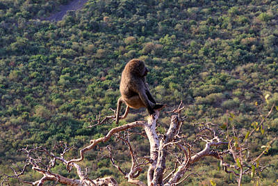 Photograph - Rift Valley Baboon by Aidan Moran