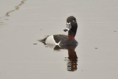 Photograph - Rign-necked Duck by Alan Lenk