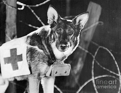 Photograph - Rin-tin-tin (1916-1932) by Granger