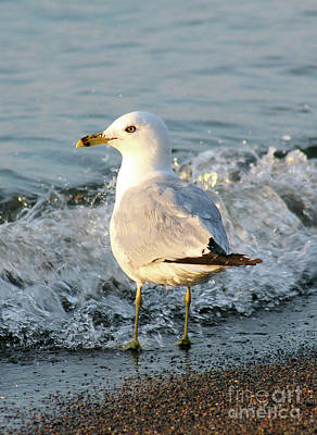 Photograph - Ring-billed Gull 02 by E B Schmidt