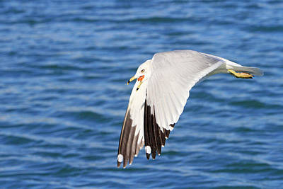 Photograph - Ring Billed Gull 1 by Shoal Hollingsworth