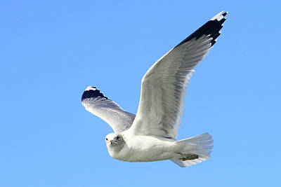 Photograph - Ring Billed Gull 2 by Shoal Hollingsworth