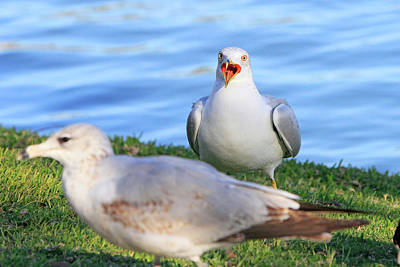 Photograph - Ring Billed Gull 3 by Shoal Hollingsworth