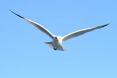 Photograph - Ring Billed Gull 4 by Shoal Hollingsworth