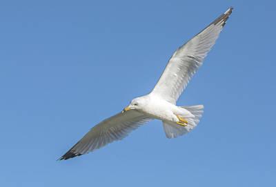 Photograph - Ring-billed Gull  9673-02231-1cr by Tam Ryan